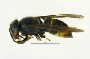 Asian hornet nests destroyed in Christchurch