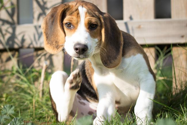 How to prevent and remove fleas from pets | Bournemouth Echo