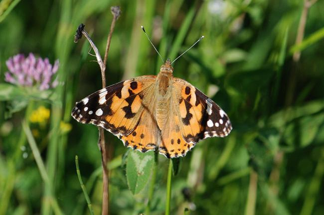 Painted Lady butterfly. Picture: Keith Powrie
