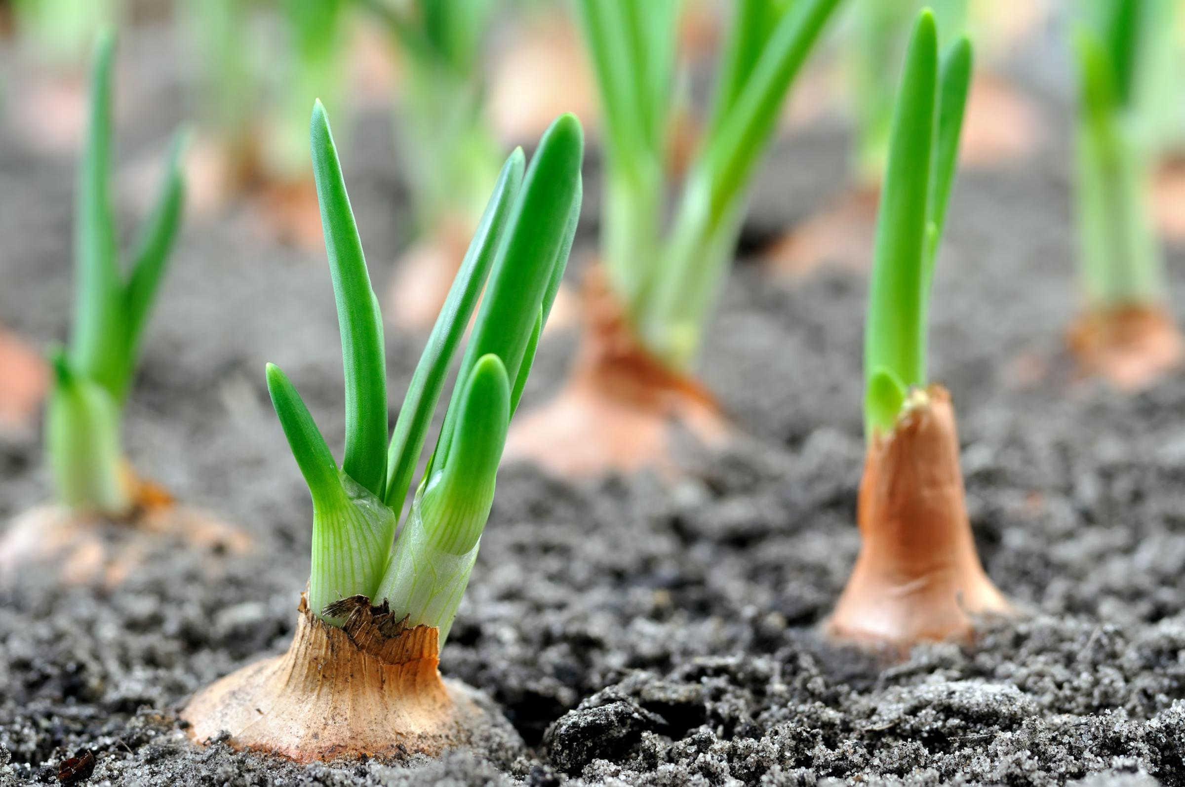 How to grow onions, Swiss chard and courgettes