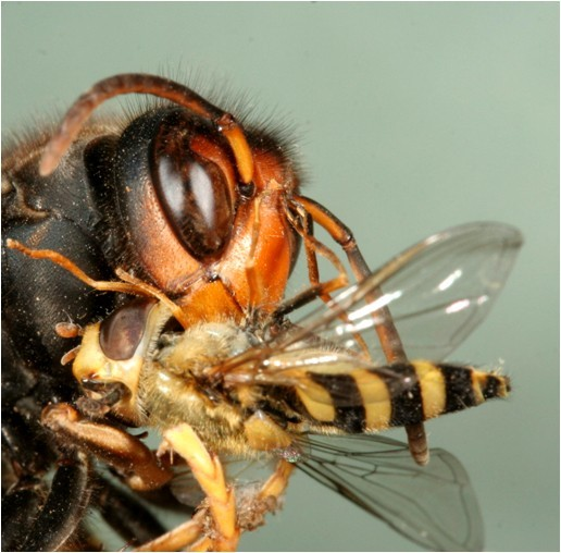 Bee-killing Asian hornet is spotted in New Forest