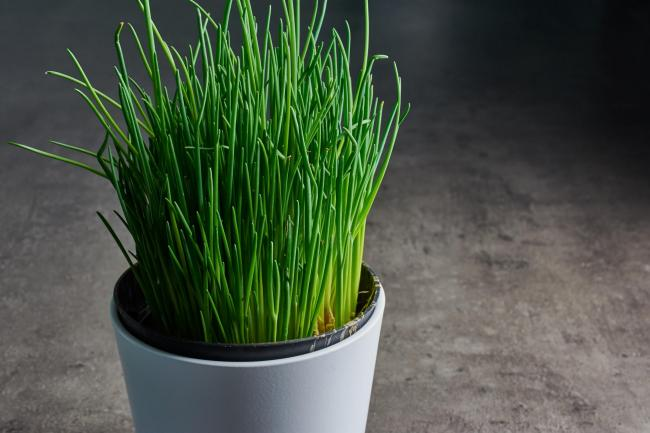 A pot of chives. Picture credit should read: iStock/PA.