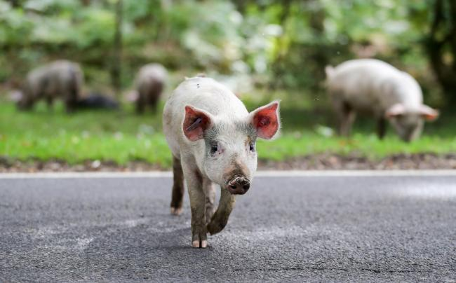 Domestic pigs roam the roadside near to Burley  on the first day of Pannage, or 'Common of mast', where the animals are allowed to wander in the New Forest