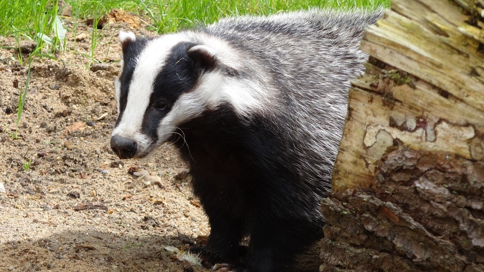 More badger culls are planned for Dorset