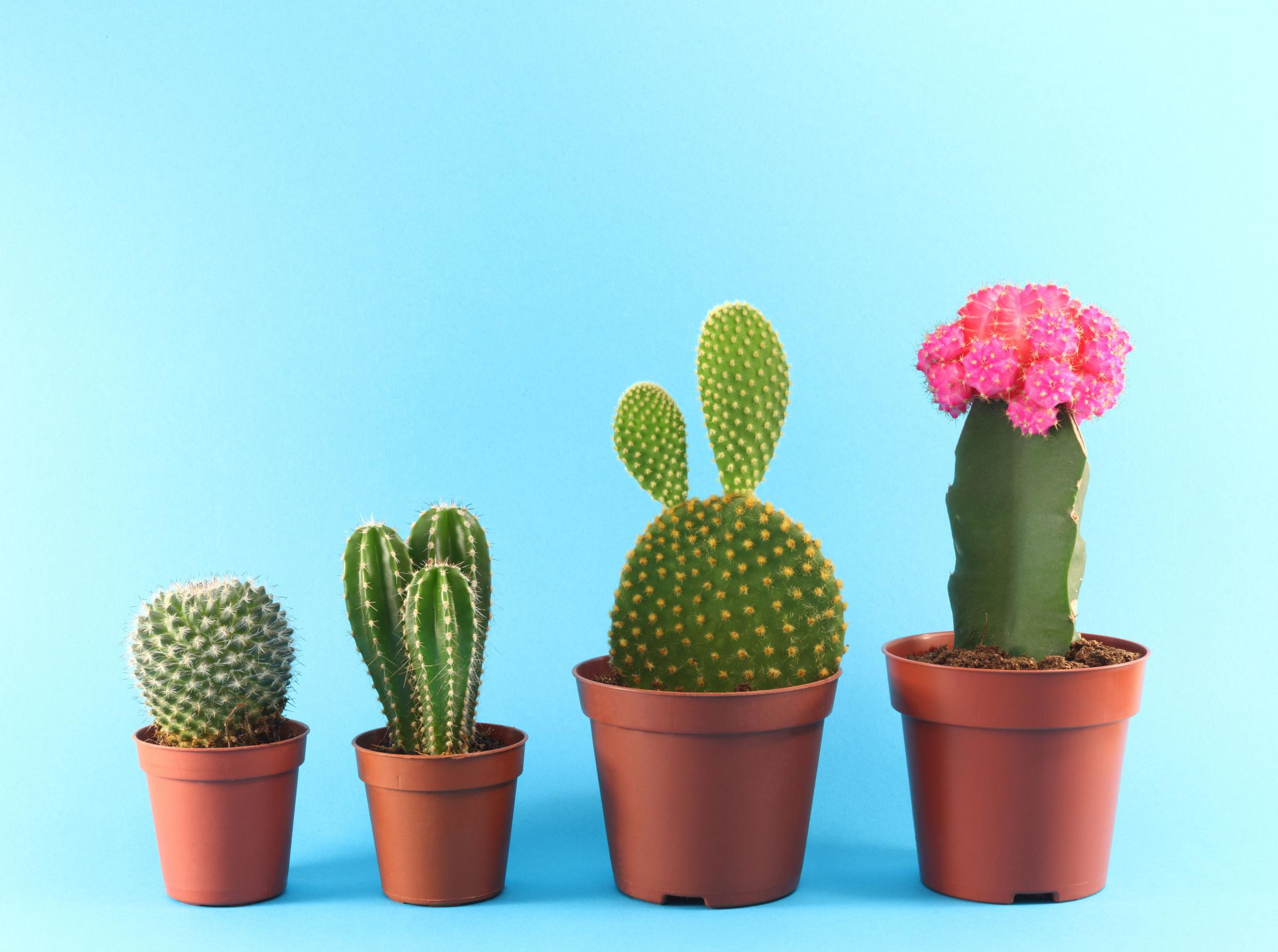 Gardening: How to tackle prickly problems posed by cacti