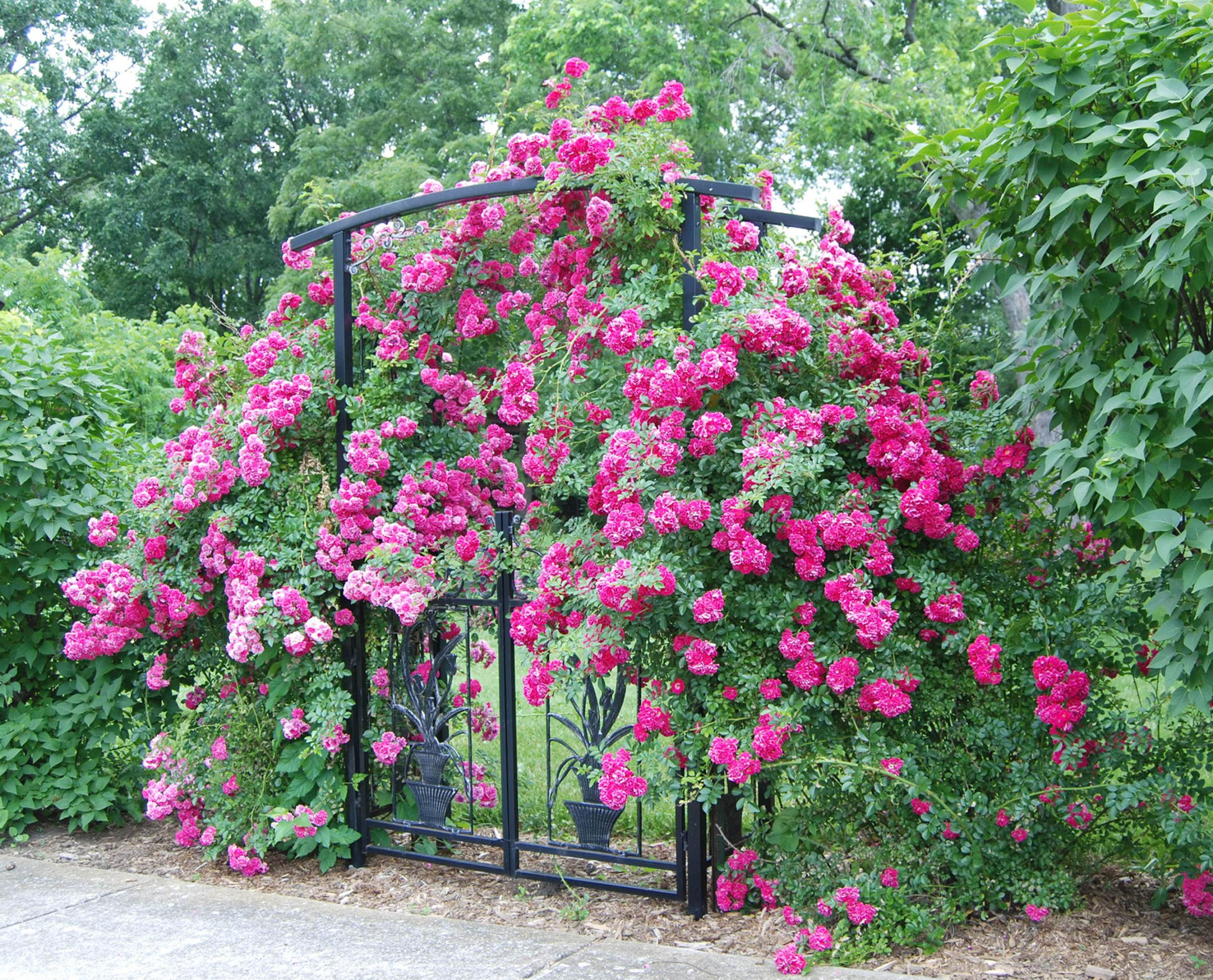 Gardening: Don't forget your roses in your big autumn tidy-up