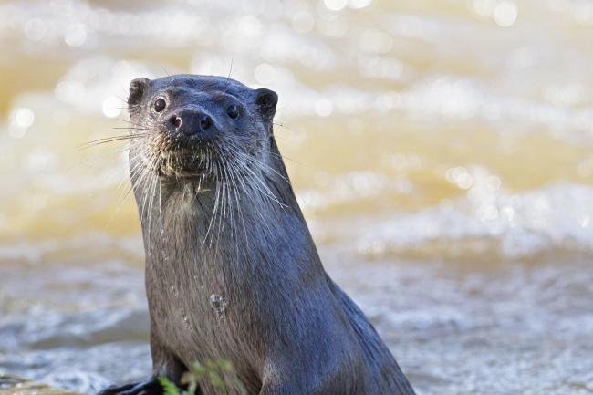 More otters are dying in Dorset. Image Paul Williams for the Dorset Wildlife Trust