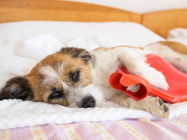Undated generic stock image of a dog with a hot water bottle. See PA Feature HEALTH Arthritis. Picture credit should read: Thinkstock/PA. WARNING: This picture must only be used to accompany PA Feature HEALTH Arthritis..