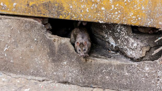 Bournemouth Echo: How to prevent rats in your home. Credit: BPCA