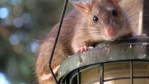Bournemouth Echo: What to do if you think you have rats. Credit: BPCA