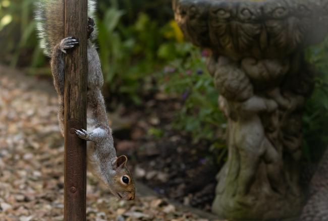 Amber Davies of the Echo Camera club captured the talents and dexterity of the squirrel in her back garden. Amber posted, never underestimate the strength of a Squirrel. Never mess with one who hangs upside down from a pole for fun.