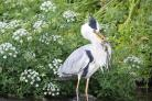 A great catch by both this Heron on the River Stour and photographer Steve Broadhead from the Echo Camera Club