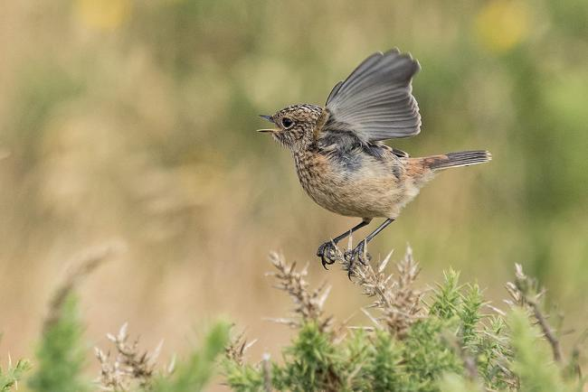 This juvenile Stonechat had a prickly start when landing on the gorse at Hengistbury Head captured by Echo Camera Club member Stan Maddams