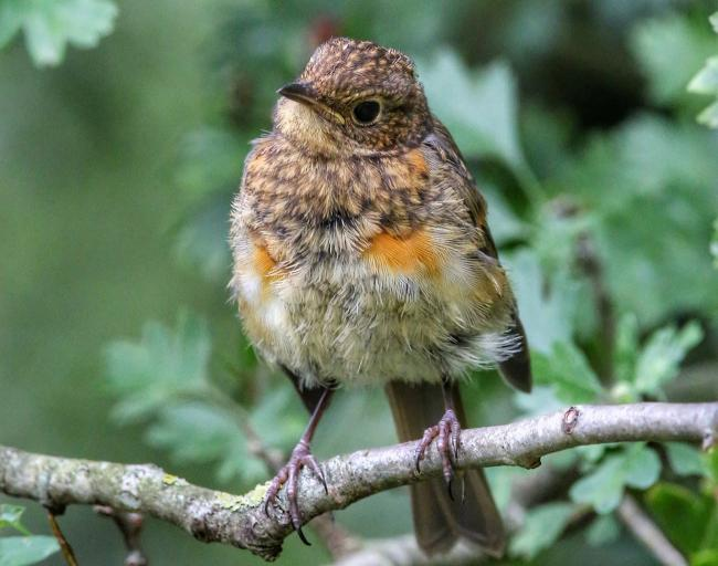 Sharon Towning from the Echo Camera Club posted this cute image of a fluffy juvenile Robin at the Stour Meadows at Blandford