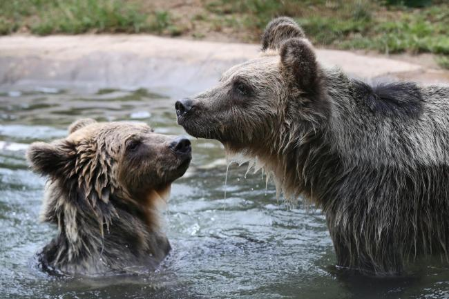 Two rescued brown bear cubs