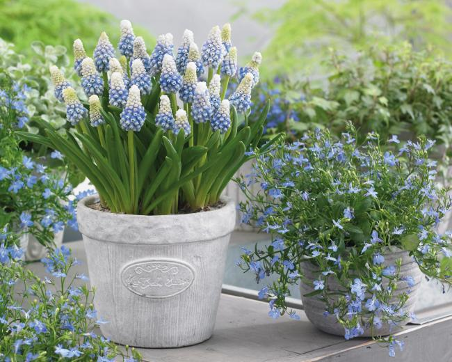 Undated Handout Photo of Muscari 'Mountain Lady'. See PA Feature GARDENING Bulbs. Picture credit should read: Thompson & Morgan/ PA. WARNING: This picture must only be used to accompany PA Feature GARDENING Bulbs.