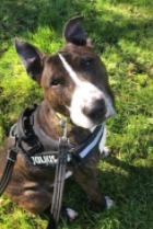 Toby, an English bull terrier, was brought to the RSPCA for welfare concerns