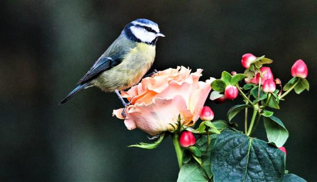 Even this blue tit is taking time to stop and smell the roses, captured by Echo Camera Club member Steve Broadhead