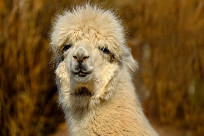 An alpaca had to be put down after a dog attack in Fordingbridge. Picture: Pixabay