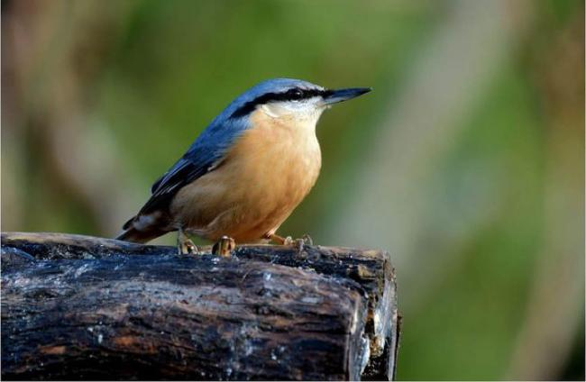 Albert Webster of the Echo Camera Club posted this lovely photo of a Nuthatch that visits his garden.