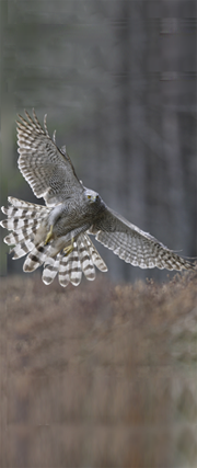 Bournemouth Echo: Goshawk in flight