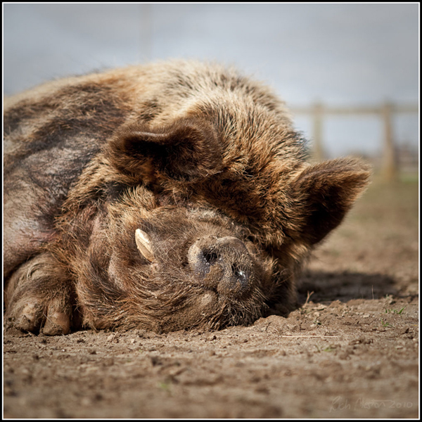 Bournemouth Echo: Snoring Piggy by MadMezza on FLickr not for reuse