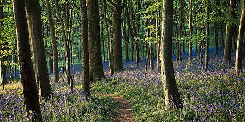 Bournemouth Echo: Bluebell hush by Andy Farrer
