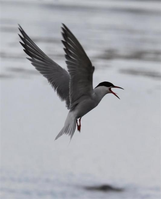 Bournemouth Echo: Common Tern by Steve Davis