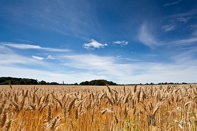 Bournemouth Echo: Hampshire wheat field by Rich Meston