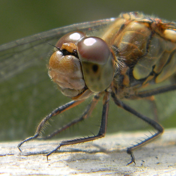 Bournemouth Echo: Femal common darter by Geoff Budden