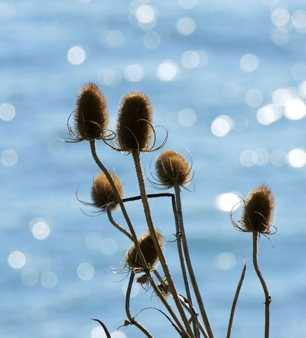 Cliff top teasels by Steve Maskell