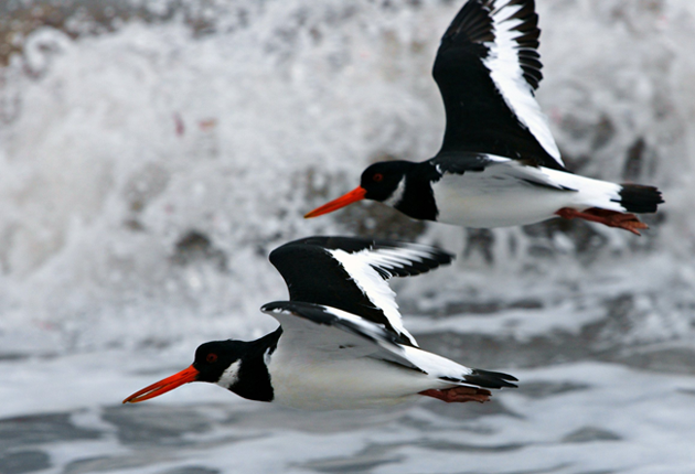 Oystercatcher flypast by Paul Lee