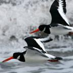 Bournemouth Echo: Oystercatcher flypast by Paul Lee