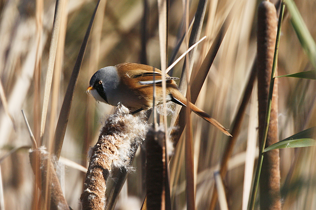 Bearded Reedling by Ian A Kirk