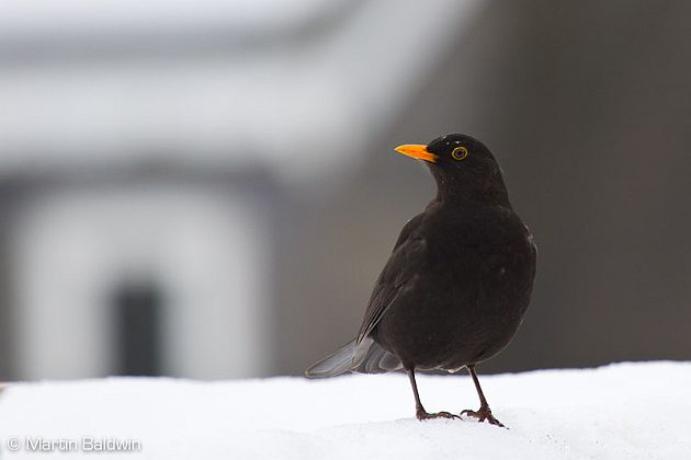 Bournemouth Echo: Blackbird in the snow by Martin Baldwin
