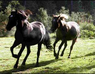 Bournemouth Echo: CONTRACEPTIVE SCHEME: New Forest ponies