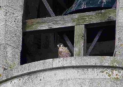 PROUD: David Wareham's pictures showing a newly-fledged peregrine falcon at the top of the Bournemouth and Poole College clock tower at the Lansdowne in Bournemouth