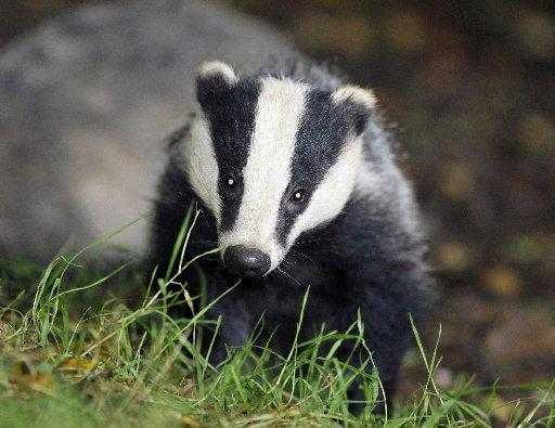 Badgers cull is a big mistake