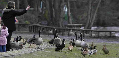 MESSY: Canada Geese and other birds that gather in Poole Park
