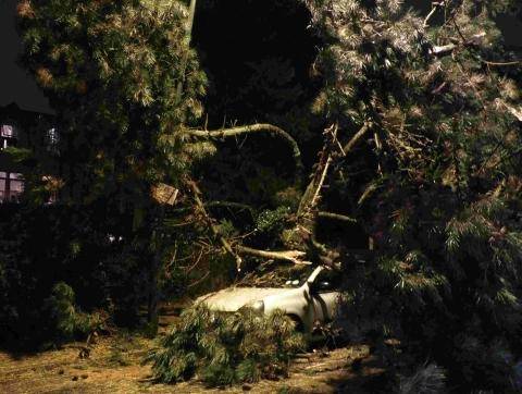 The pine tree that fell on top of a car in Knyveton Road