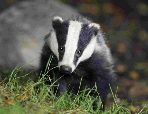 Dorset reserve site for controversial badger cull