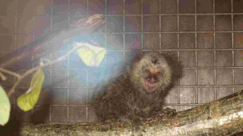 SAVED: A pair of marmosets have been taken in by Monkey World