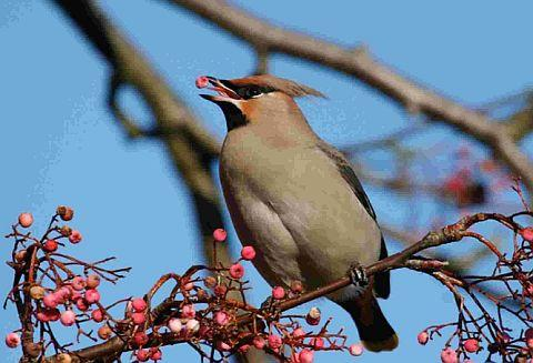 UNUSUAL SIGHT: Waxwings have been spotted in Lytchett Matravers 	Picture by Luke Phillips