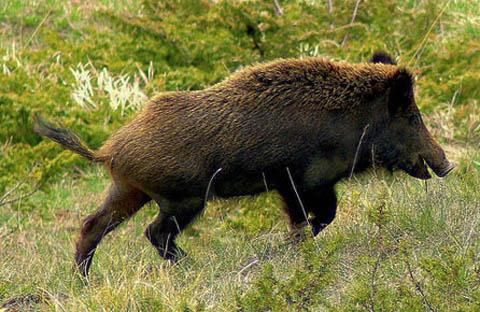 Wild boars return to New Forest after 300 years