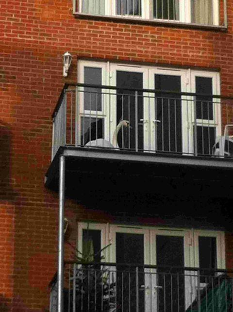 STUCK UP HIGH: Swan on a balcony in Poole