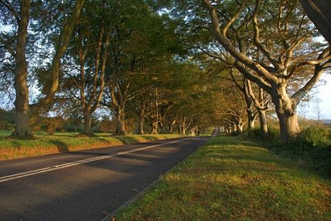 Trees lining Kingston Lacy's famous beech avenue