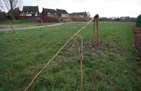 MINDLESS: One of 30 trees snapped in two after a wrecking spree by vandals