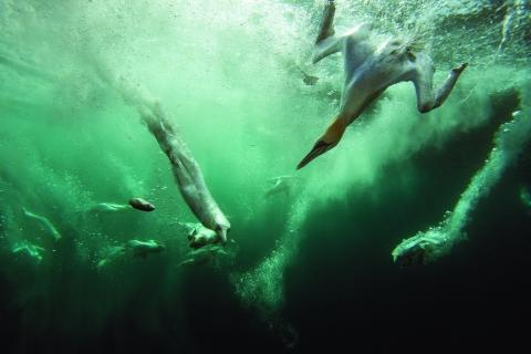 Gannet Jacuzzi, by Dr Matt Doggett