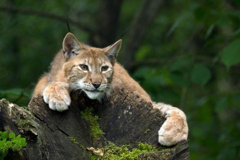 A lynx - is there one in Dorset?