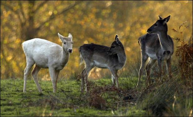 Rise in number of dogs attacking deer in the New Forest